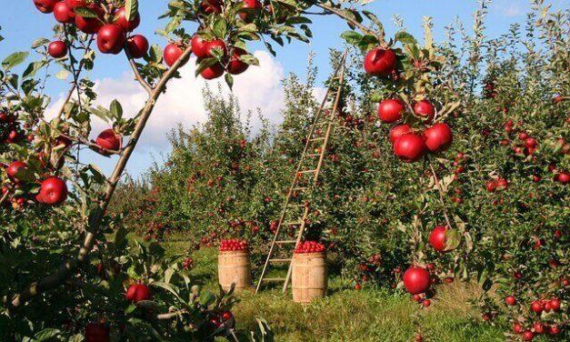 Een appelboom snoeien doe je zo…