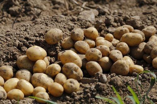Aardappelen kweken: planten, verzorgen en oogsten
