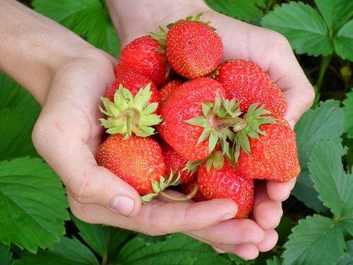 Aardbeien kweken: planten, verzorgen en oogsten
