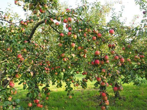 De appelboom: planten, verzorgen en oogsten