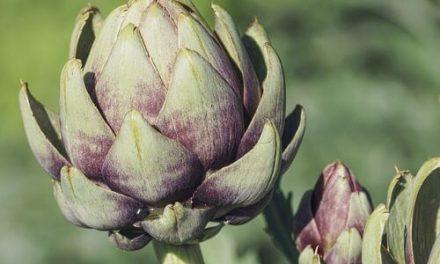 Artisjok kweken: planten, verzorgen en oogsten