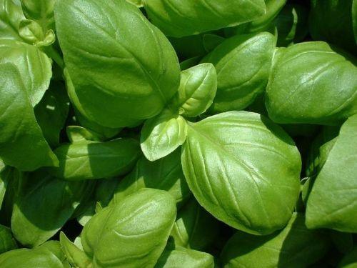 Basilicum kweken: planten, verzorgen en oogsten