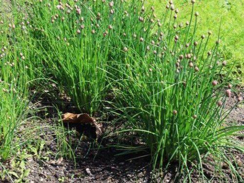Bieslook kweken: planten, verzorgen en oogsten