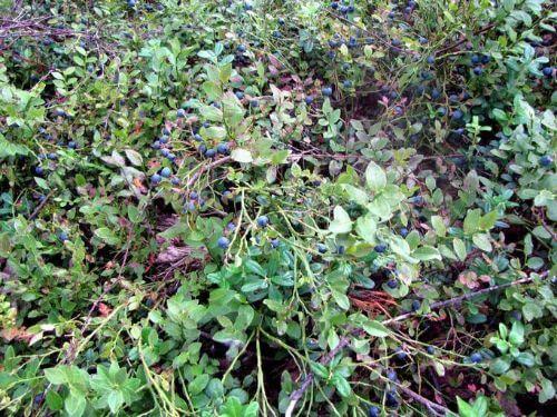 Blauwe bes kweken: planten, verzorgen en oogsten