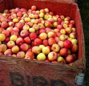 fruitboom oogst