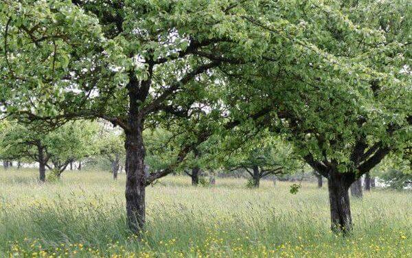 Alles wat je moet weten over halfstam fruitbomen