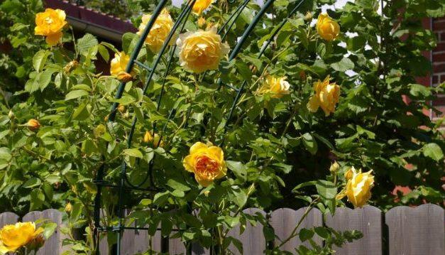 Een rozenboog in de tuin: Soorten, installeren en planten
